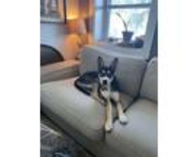 Adopt Zuko a Black - with Tan, Yellow or Fawn Husky / German Shepherd Dog /