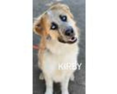 Adopt Kirby a Tan/Yellow/Fawn - with White St. Bernard / Husky / Mixed dog in