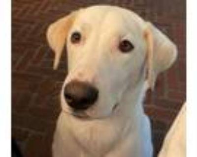 Adopt Cooper a White Labrador Retriever / Mixed dog in Phoenix, AZ (31626362)