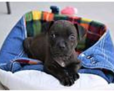 Mater, Pit Bull Terrier For Adoption In Fort Collins, Colorado