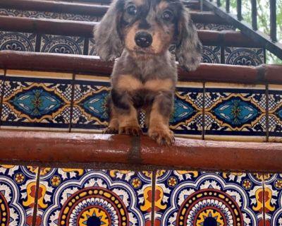 Miniature AKC Long Haired Dachshund Pups Dapples English Creams