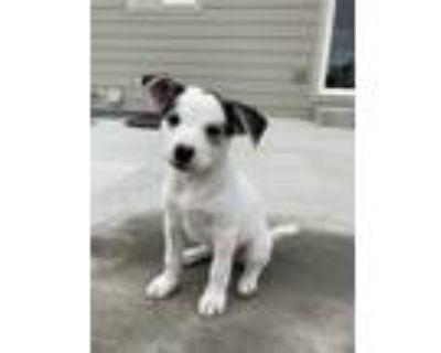 Adopt Sarabi a Husky dog in Windsor, CO (31620871)