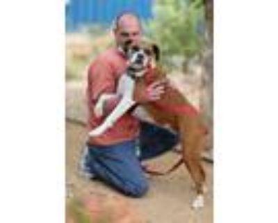 Adopt Bonnie a Boxer / Mixed dog in Albuquerque, NM (32028447)