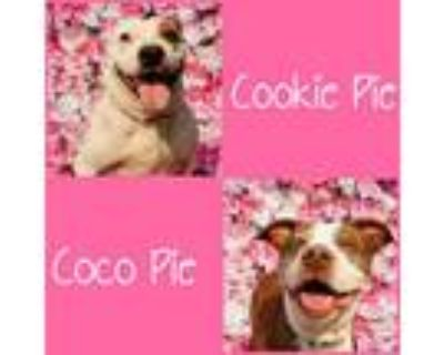 Adopt Cookie Pie & Coco Pie a Pit Bull Terrier