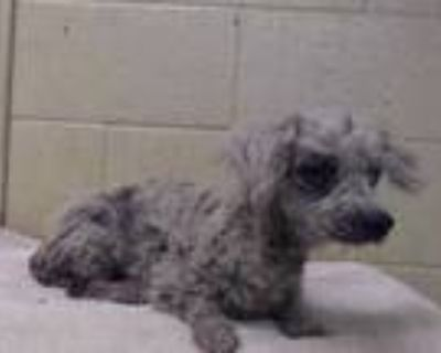 Adopt PRINCESSA a White Poodle (Miniature) / Mixed dog in Downey, CA (31692407)