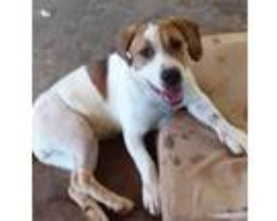Adopt Piper a White - with Tan, Yellow or Fawn Beagle / Mixed dog in