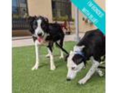 Adopt Samson a Black Border Collie / Mixed dog in San Francisco, CA (31791257)