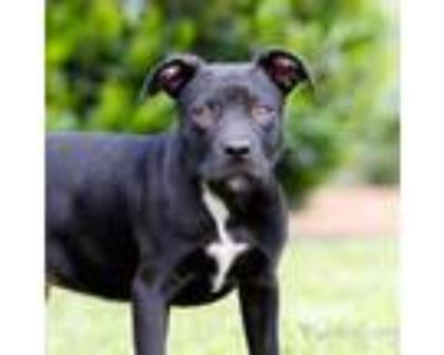Adopt Parker 11310 a Black Labrador Retriever / Pit Bull Terrier / Mixed dog in