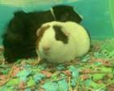 Adopt Versace a White Guinea Pig / Mixed small animal in South Abington