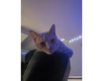 Adopt Nino a Tan or Fawn (Mostly) Domestic Shorthair / Mixed (short coat) cat in