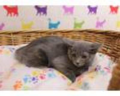 Adopt A551352 a Domestic Short Hair