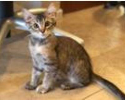 Adopt Tootsie a Domestic Mediumhair cat in Tucson, AZ (32138406)