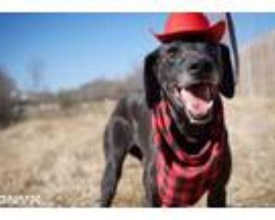 Adopt Razoo a Great Dane, Greyhound