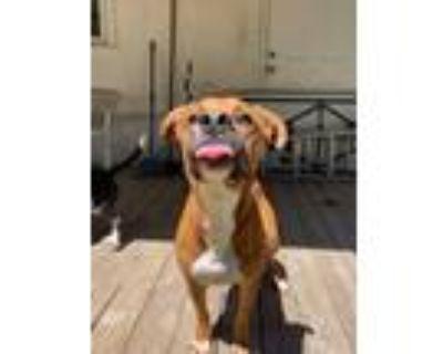 Adopt Tiger a Boxer dog in Denver, CO (31676181)