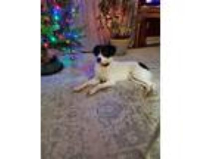 Adopt Harley a White - with Black Anatolian Shepherd / Boxer / Mixed dog in