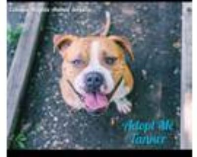 Adopt Tanner a American Staffordshire Terrier, Boxer