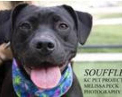 Adopt Souffle a Black Labrador Retriever / Labrador Retriever / Mixed dog in