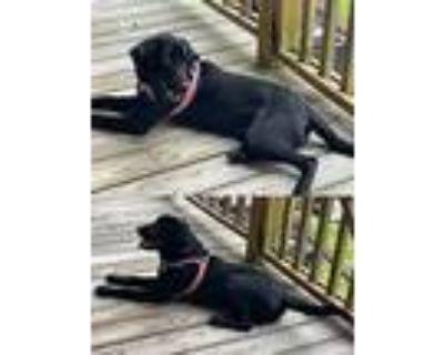 Adopt Scott Lake Nova a Labrador Retriever / Mixed dog in Chantilly