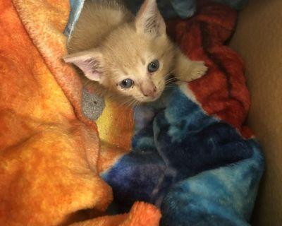 Token - Domestic Shorthair - Kitten Female