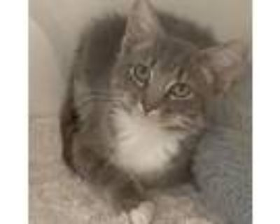 Adopt Dove a Gray or Blue Domestic Shorthair / Mixed cat in Cumming