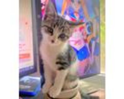 Adopt Janet a Brown Tabby Domestic Shorthair (short coat) cat in Lombard