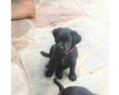Adopt Apollo a Black Labrador Retriever / Mixed dog in Cumming, GA (31618178)