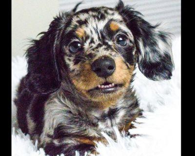 Gloriousminis.com Purebred Miniature Dachshund Puppies