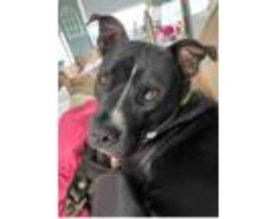 Adopt Dante a Black - with White Pit Bull Terrier / Mixed dog in West Bend