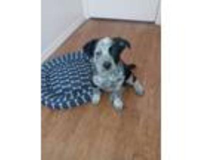 Adopt Titus a Australian Cattle Dog / Blue Heeler