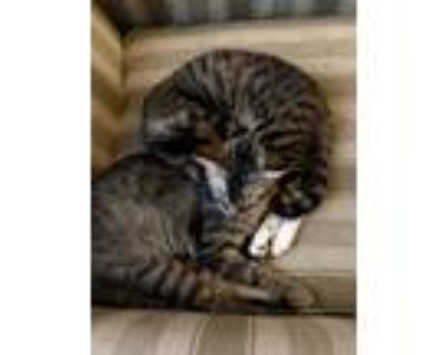 Adopt Brownie & Orb a Brown or Chocolate (Mostly) American Shorthair / Mixed