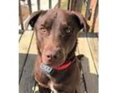 Adopt Brody a Brown/Chocolate Labrador Retriever / Mixed dog in Frederick