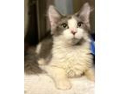 Adopt Chuckie a White Domestic Shorthair / Domestic Shorthair / Mixed cat in
