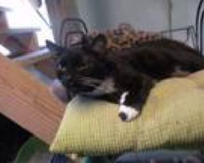 Adopt Miss Boots a Domestic Short Hair