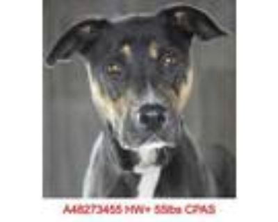 Adopt MJ a Black Shepherd (Unknown Type) / Mixed dog in Shreveport