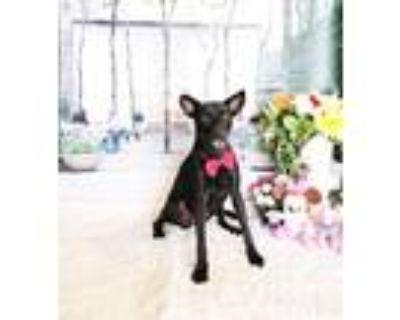Adopt Isabella a Black Labrador Retriever / Mixed dog in Castro Valley