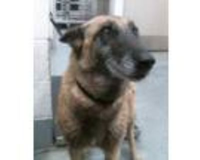 Adopt LILLY a Brown/Chocolate - with Black German Shepherd Dog / Mixed dog in