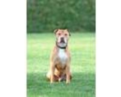 Adopt Theodore a Pit Bull Terrier