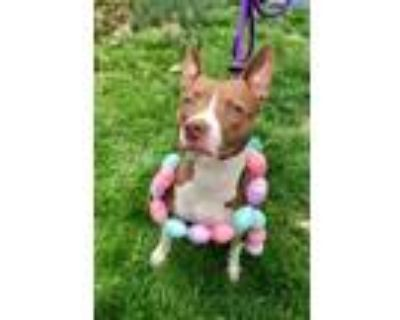 Adopt Biscotti a Pit Bull Terrier