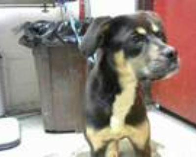 Adopt BLITZ a Rottweiler, Mixed Breed