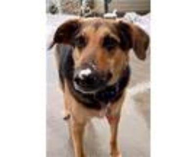 Adopt Maddie (formerly Anya) a Shepherd, Labrador Retriever