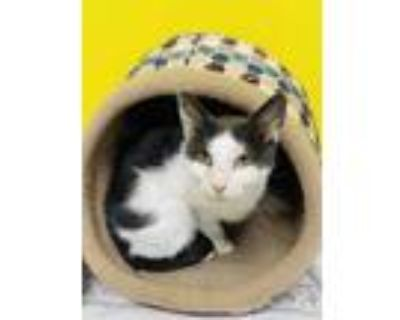 Adopt Swan a Gray or Blue Domestic Shorthair / Domestic Shorthair / Mixed cat in