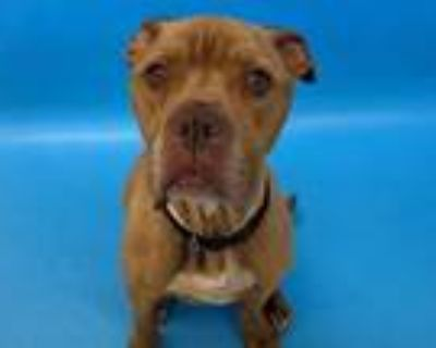 Adopt Bruno a Pit Bull Terrier, Mixed Breed