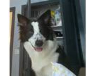 Adopt Gunner a Black - with White Border Collie / American Hairless Terrier /
