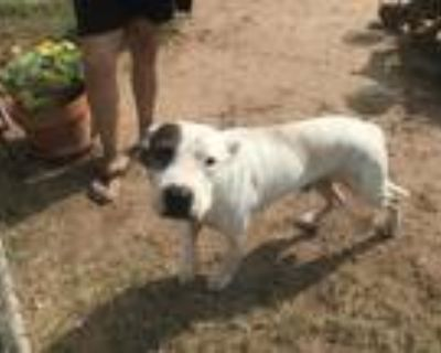 Adopt JOSH a White American Pit Bull Terrier / Mixed dog in Phoenix