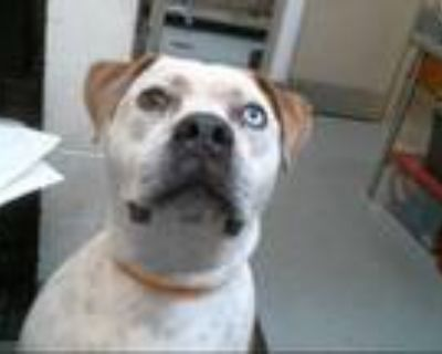 Adopt BRONCO a Tan/Yellow/Fawn - with White American Pit Bull Terrier / Mixed