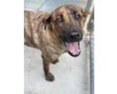 Adopt Jewel a Black German Shepherd Dog / Mixed dog in Dayton, OH (31958568)