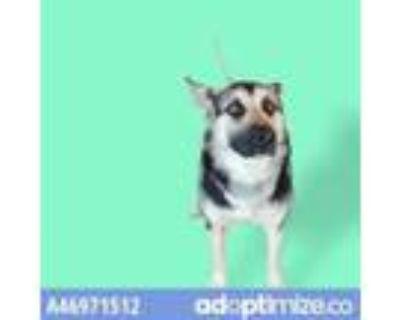Adopt 46971512 a Black German Shepherd Dog / Mixed dog in El Paso, TX (31523998)