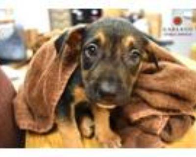 Adopt SANTA ROSA* a Black - with Tan, Yellow or Fawn Labrador Retriever / Mixed