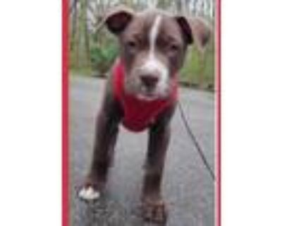 Adopt Korbin a Brown/Chocolate - with White Pit Bull Terrier / Terrier (Unknown