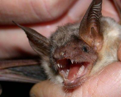 Bat Removal Services in Marietta Georgia